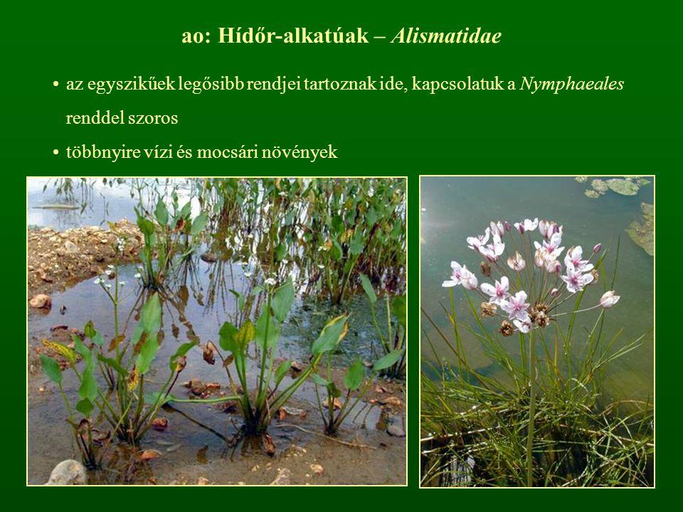 ao: Hídőr-alkatúak – Alismatidae
