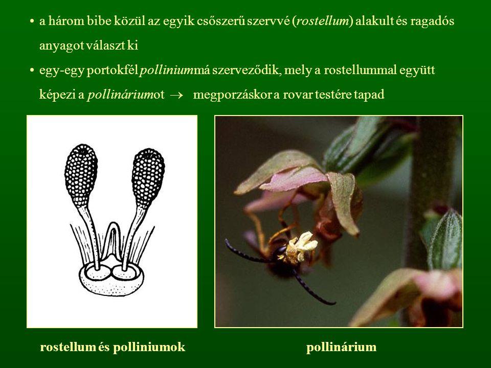 rostellum és polliniumok
