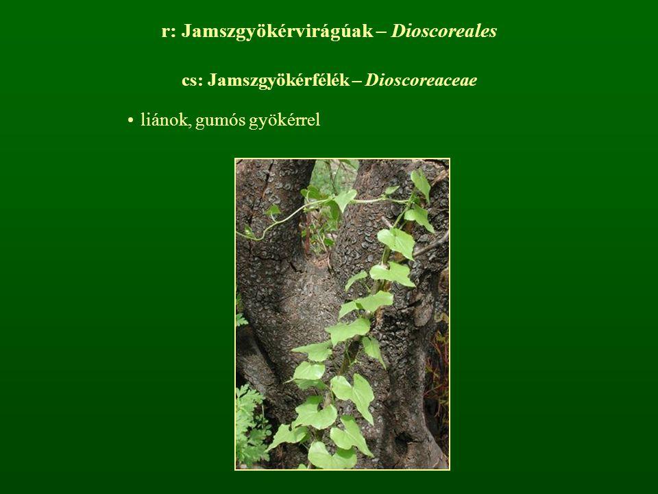 r: Jamszgyökérvirágúak – Dioscoreales