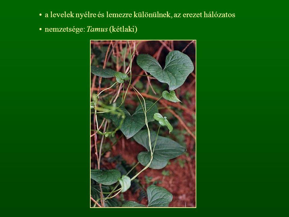 a levelek nyélre és lemezre különülnek, az erezet hálózatos