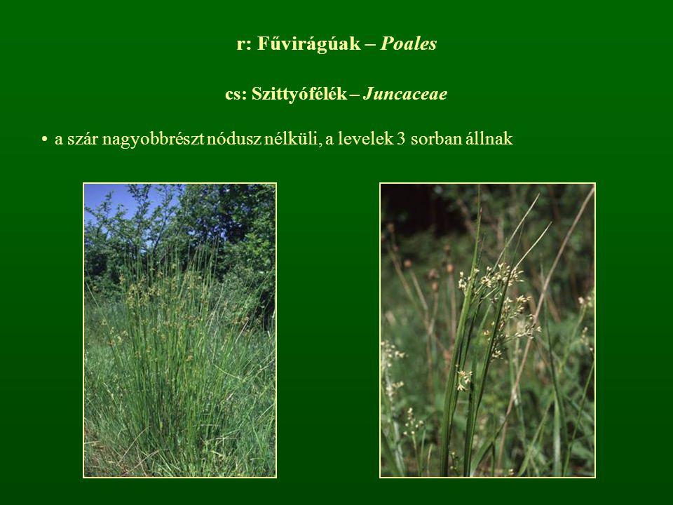 cs: Szittyófélék – Juncaceae