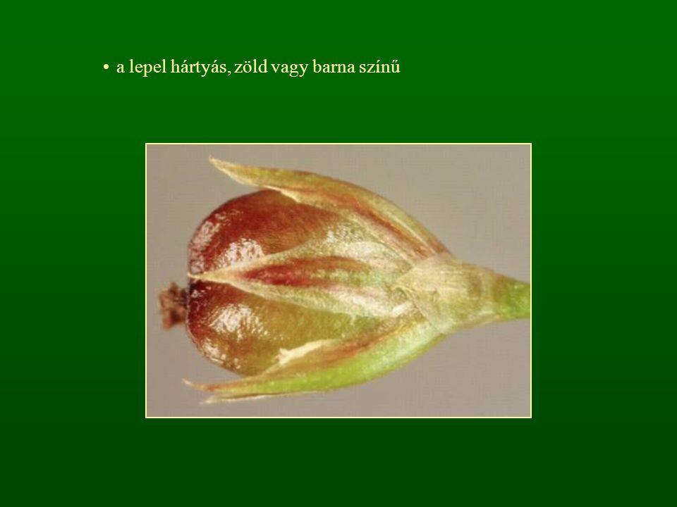 a lepel hártyás, zöld vagy barna színű