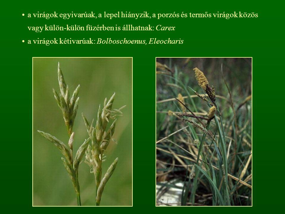 a virágok egyivarúak, a lepel hiányzik, a porzós és termős virágok közös vagy külön-külön füzérben is állhatnak: Carex