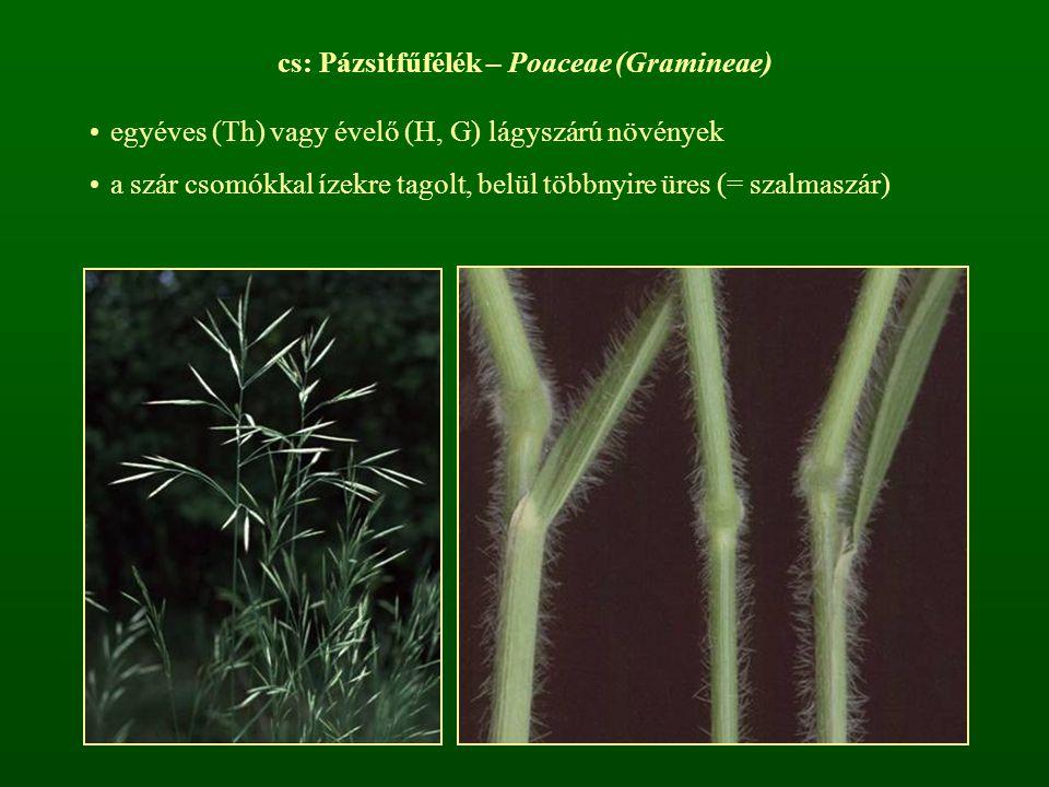 cs: Pázsitfűfélék – Poaceae (Gramineae)
