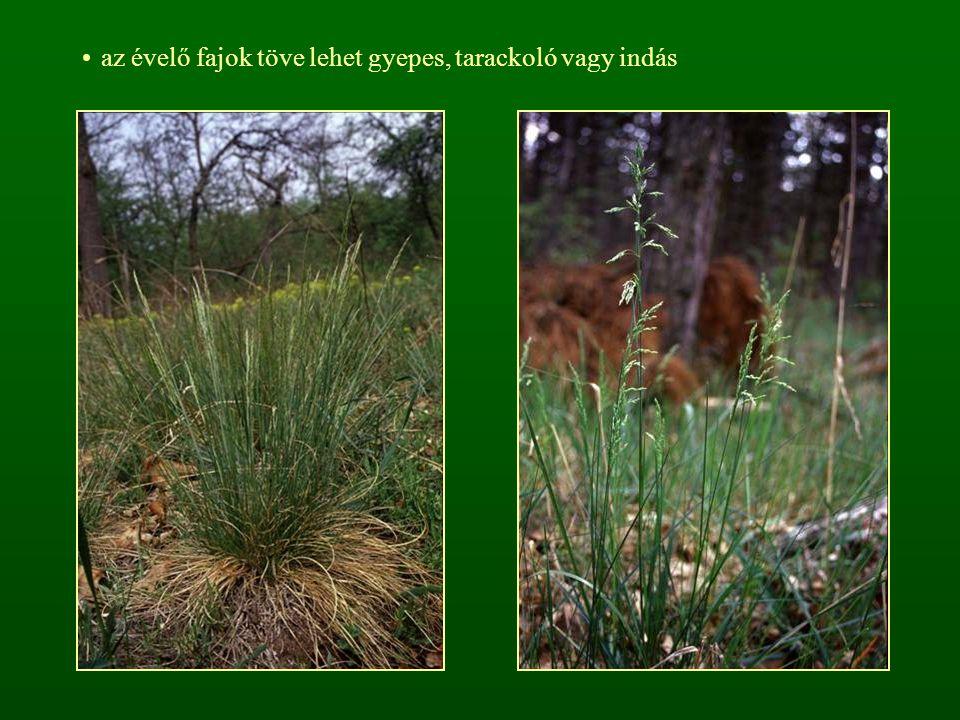 az évelő fajok töve lehet gyepes, tarackoló vagy indás