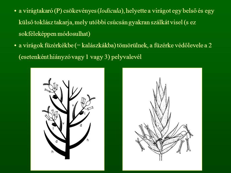 a virágtakaró (P) csökevényes (lodicula), helyette a virágot egy belső és egy külső toklász takarja, mely utóbbi csúcsán gyakran szálkát visel (s ez sokféleképpen módosulhat)