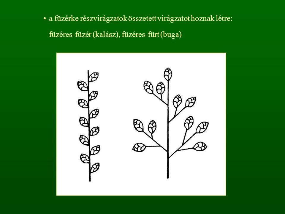 a füzérke részvirágzatok összetett virágzatot hoznak létre: füzéres-füzér (kalász), füzéres-fürt (buga)