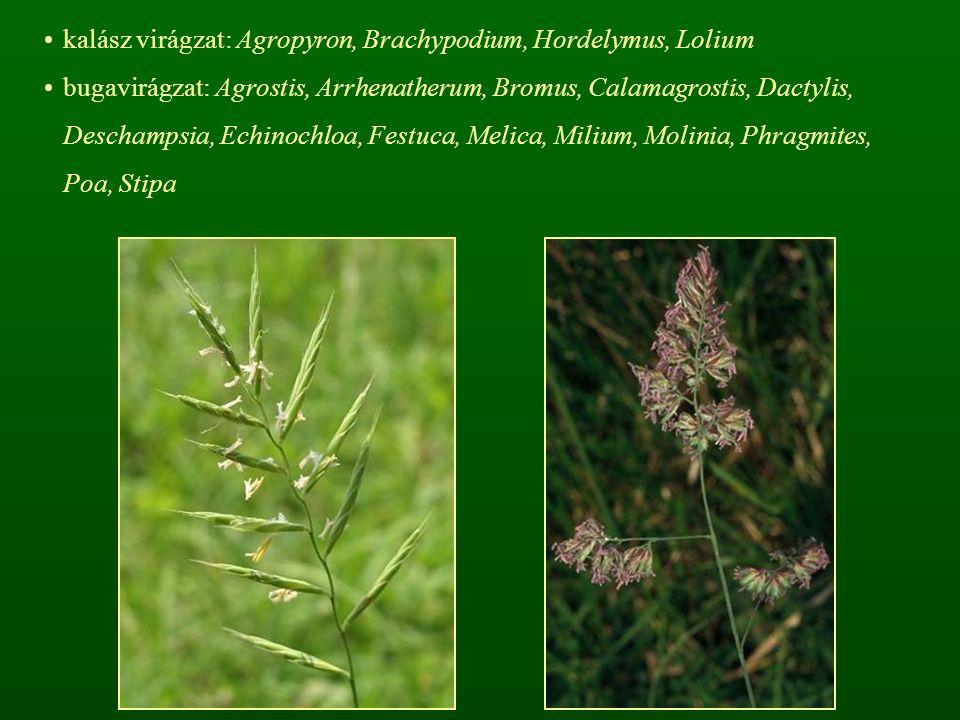 kalász virágzat: Agropyron, Brachypodium, Hordelymus, Lolium