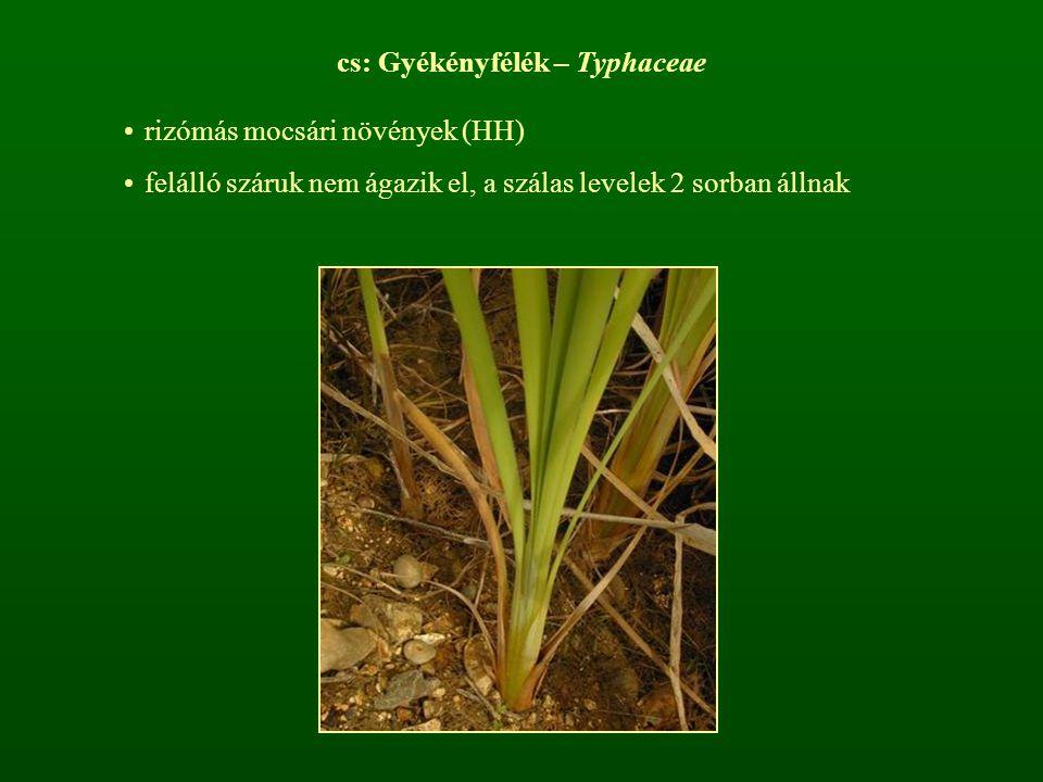 cs: Gyékényfélék – Typhaceae