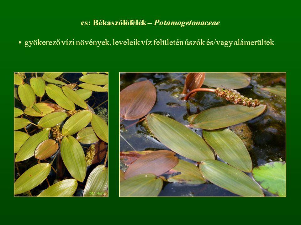 cs: Békaszőlőfélék – Potamogetonaceae