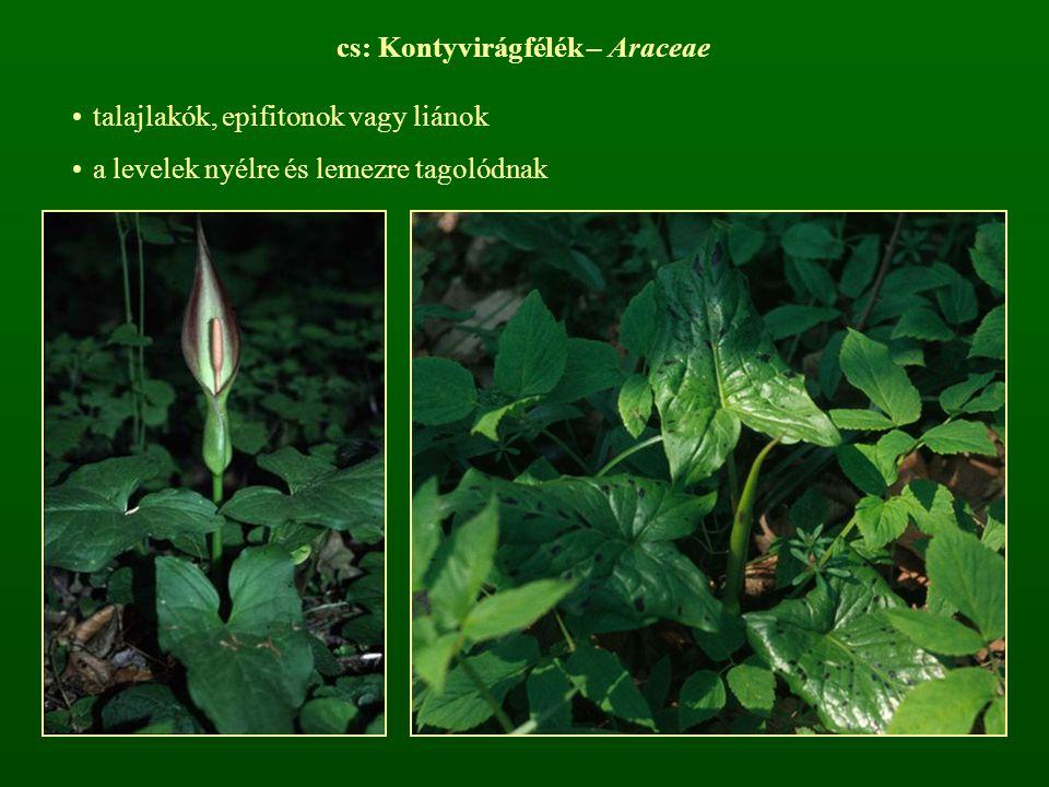 cs: Kontyvirágfélék – Araceae