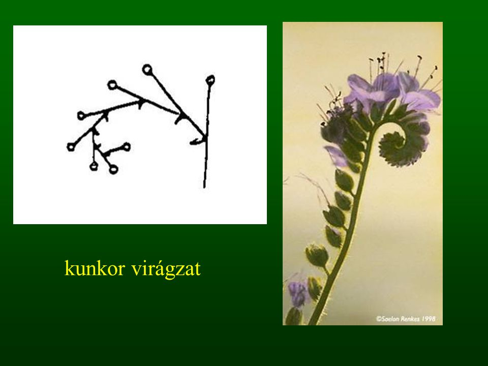 kunkor virágzat