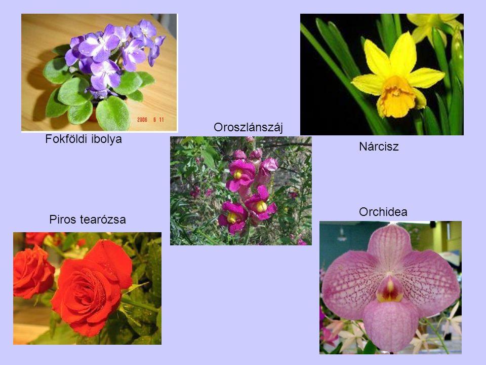 Oroszlánszáj Fokföldi ibolya Nárcisz Orchidea Piros tearózsa