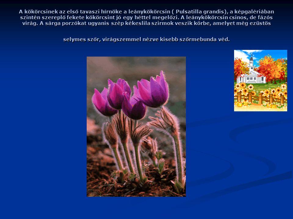 A kökörcsinek az első tavaszi hírnöke a leánykökörcsin ( Pulsatilla grandis), a képgalériában szintén szereplő fekete kökörcsint jó egy héttel megelőzi.
