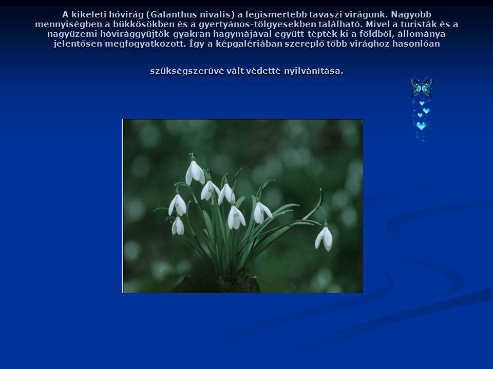 A kikeleti hóvirág (Galanthus nivalis) a legismertebb tavaszi virágunk