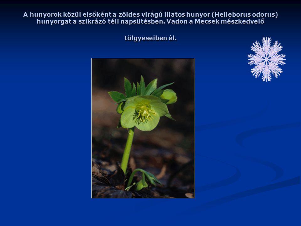 A hunyorok közül elsőként a zöldes virágú illatos hunyor (Helleborus odorus) hunyorgat a szikrázó téli napsütésben.