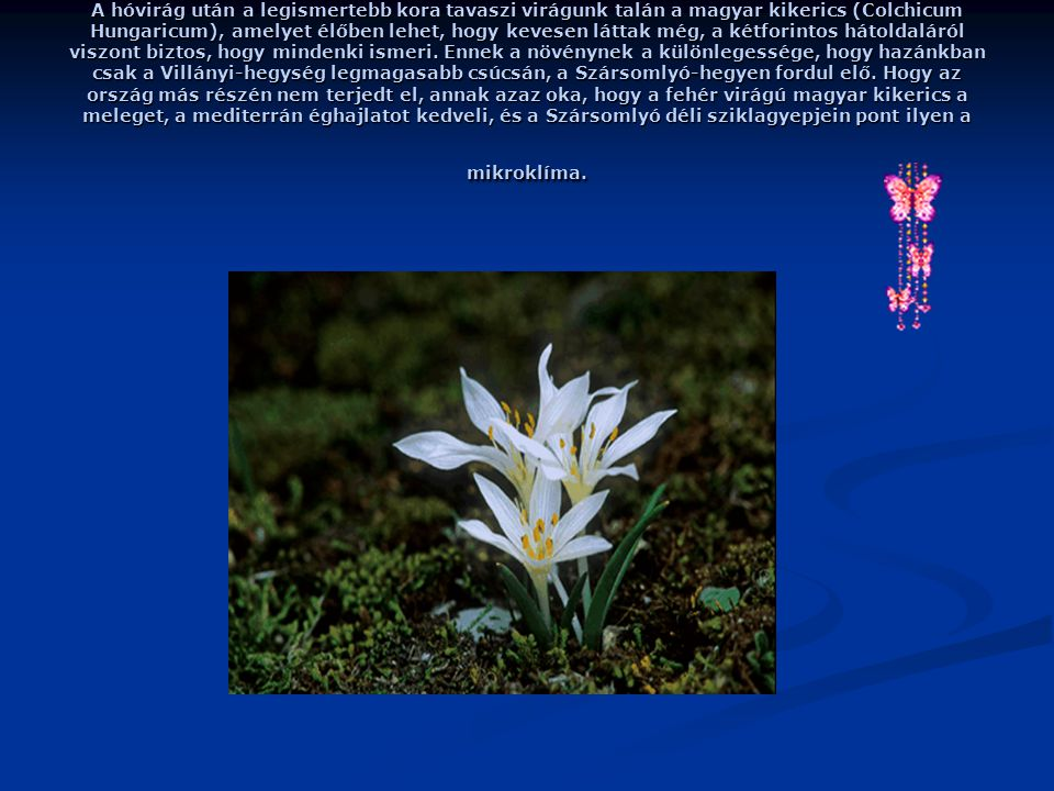 A hóvirág után a legismertebb kora tavaszi virágunk talán a magyar kikerics (Colchicum Hungaricum), amelyet élőben lehet, hogy kevesen láttak még, a kétforintos hátoldaláról viszont biztos, hogy mindenki ismeri.