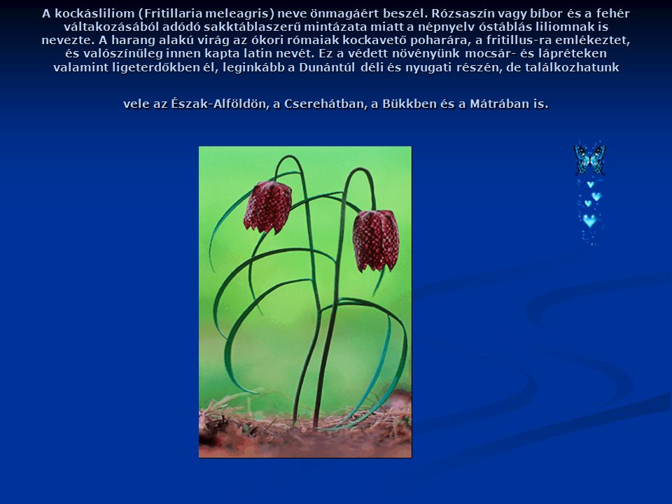 A kockásliliom (Fritillaria meleagris) neve önmagáért beszél