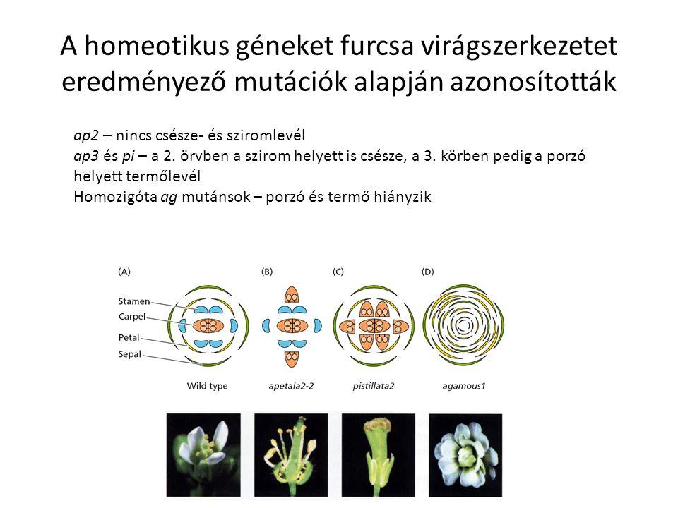 A homeotikus géneket furcsa virágszerkezetet eredményező mutációk alapján azonosították