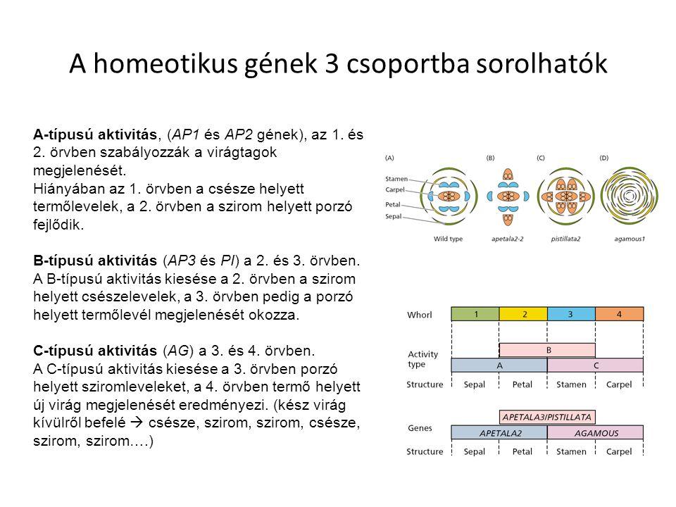 A homeotikus gének 3 csoportba sorolhatók