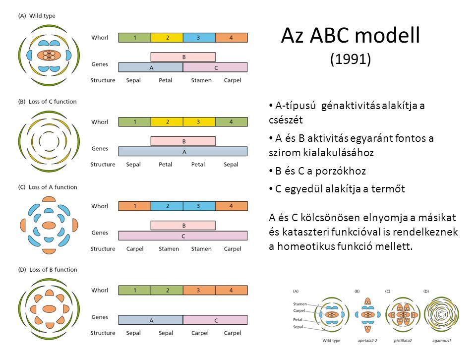 Az ABC modell (1991) A-típusú génaktivitás alakítja a csészét