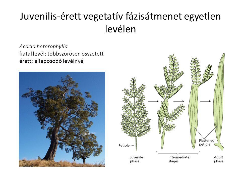 Juvenilis-érett vegetatív fázisátmenet egyetlen levélen