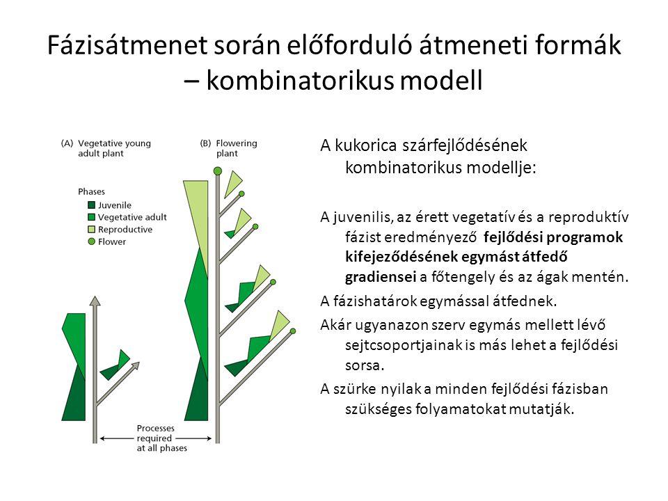 Fázisátmenet során előforduló átmeneti formák – kombinatorikus modell