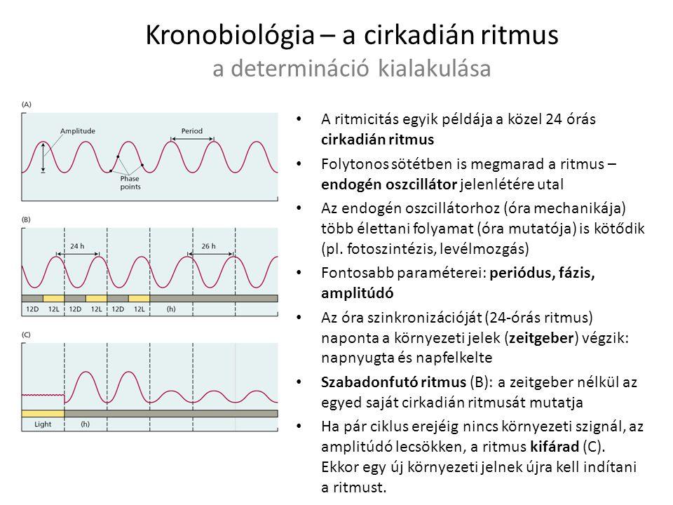 Kronobiológia – a cirkadián ritmus a determináció kialakulása