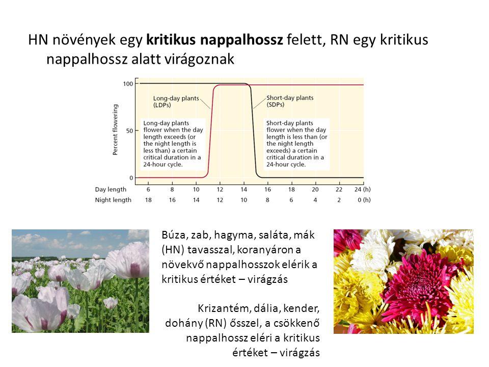 HN növények egy kritikus nappalhossz felett, RN egy kritikus nappalhossz alatt virágoznak