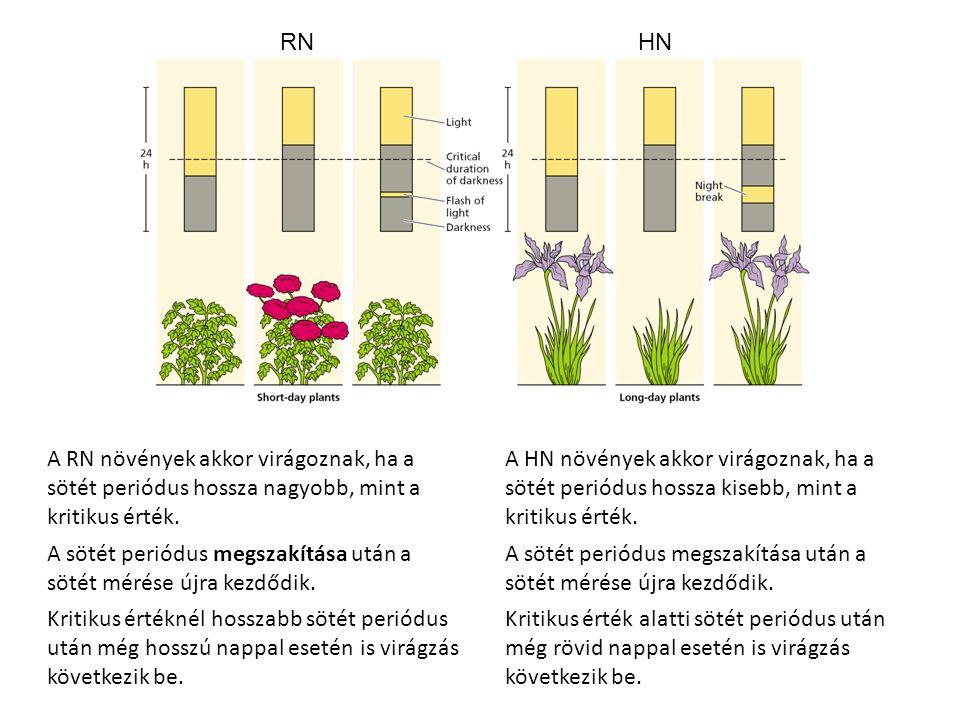 RN HN. A RN növények akkor virágoznak, ha a sötét periódus hossza nagyobb, mint a kritikus érték.
