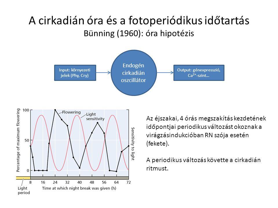 A cirkadián óra és a fotoperiódikus időtartás Bünning (1960): óra hipotézis
