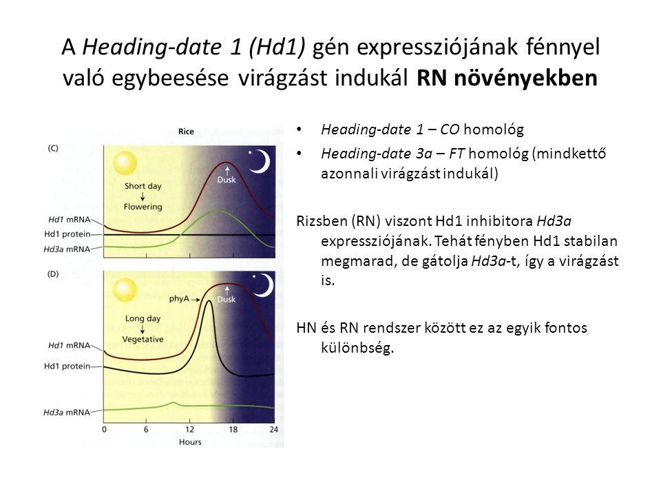 A Heading-date 1 (Hd1) gén expressziójának fénnyel való egybeesése virágzást indukál RN növényekben