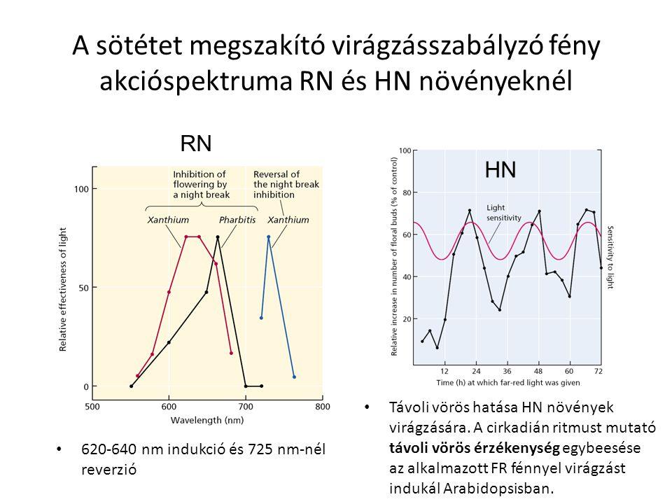 A sötétet megszakító virágzásszabályzó fény akcióspektruma RN és HN növényeknél