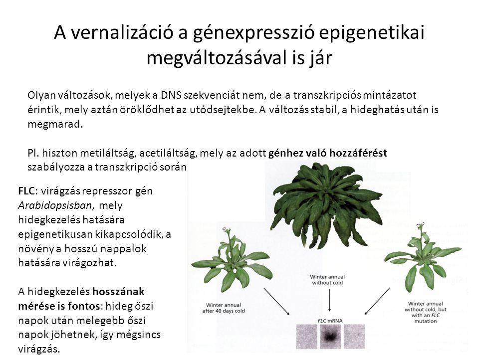 A vernalizáció a génexpresszió epigenetikai megváltozásával is jár