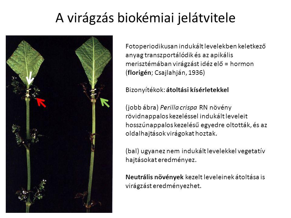 A virágzás biokémiai jelátvitele