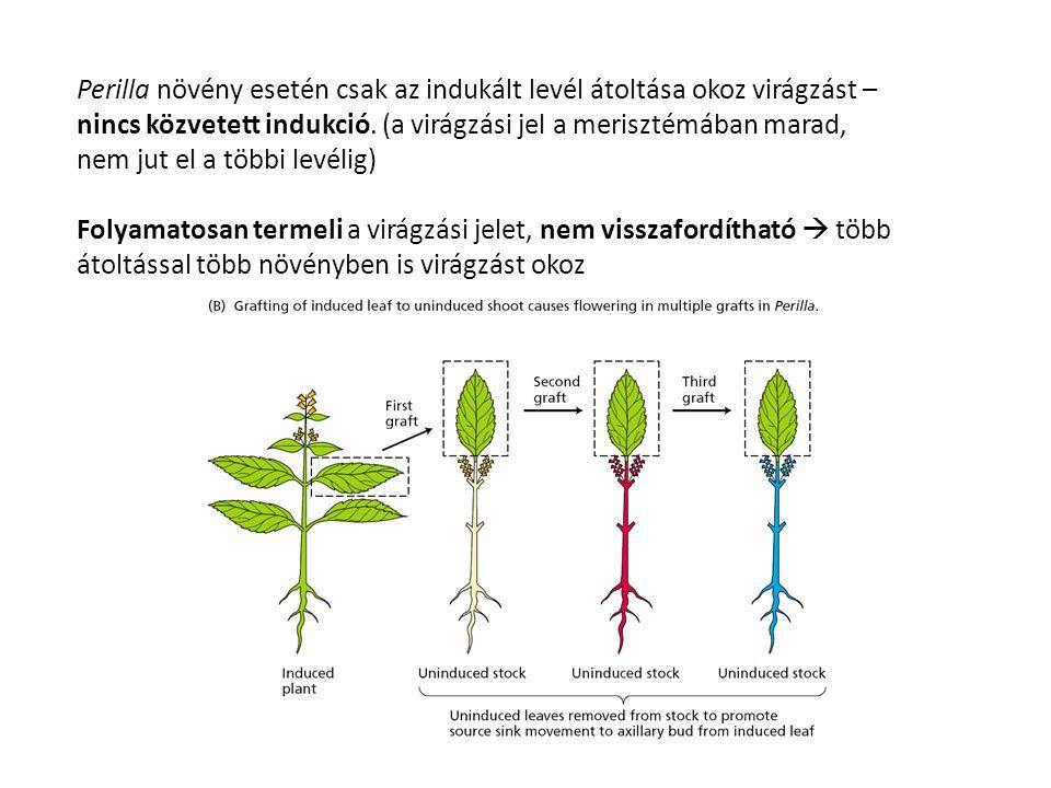 Perilla növény esetén csak az indukált levél átoltása okoz virágzást – nincs közvetett indukció. (a virágzási jel a merisztémában marad, nem jut el a többi levélig)