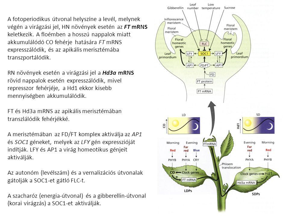 A fotoperiodikus útvonal helyszíne a levél, melynek végén a virágzási jel, HN növények esetén az FT mRNS keletkezik. A floémben a hosszú nappalok miatt akkumulálódó CO fehérje hatására FT mRNS expresszálódik, és az apikális merisztémába transzportálódik.