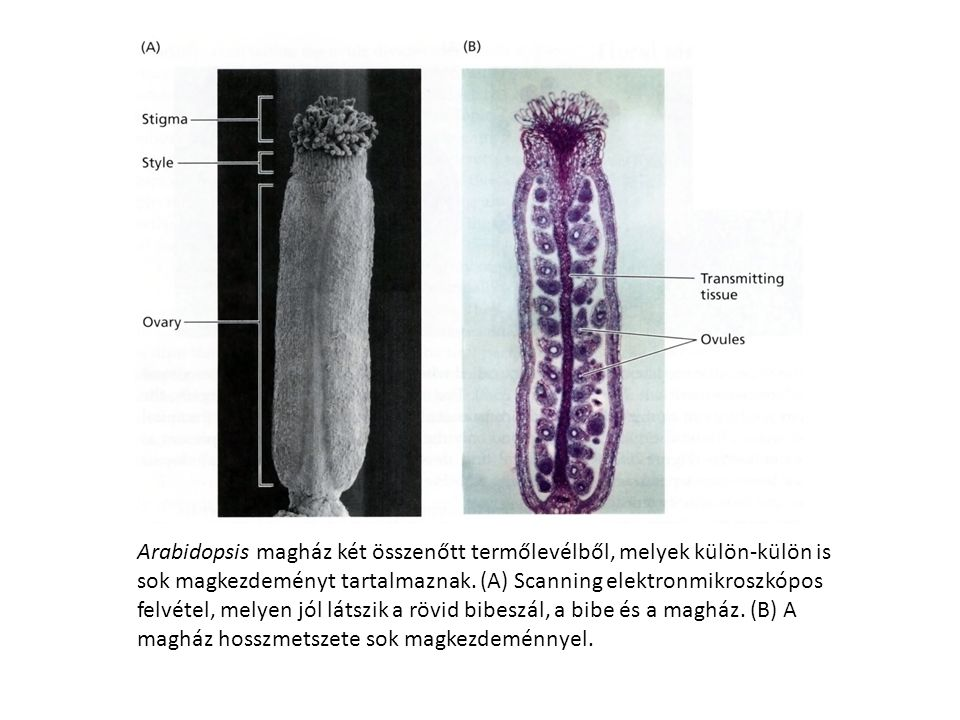 Arabidopsis magház két összenőtt termőlevélből, melyek külön-külön is sok magkezdeményt tartalmaznak.