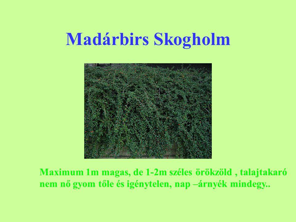 Madárbirs Skogholm Maximum 1m magas, de 1-2m széles örökzöld , talajtakaró.