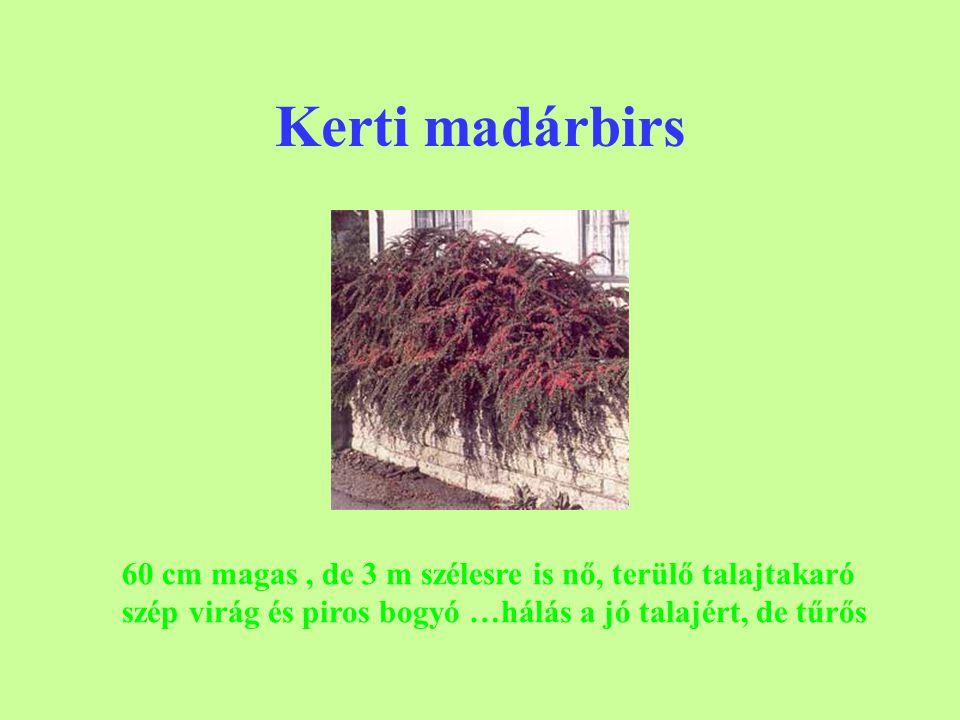 Kerti madárbirs 60 cm magas , de 3 m szélesre is nő, terülő talajtakaró szép virág és piros bogyó …hálás a jó talajért, de tűrős.