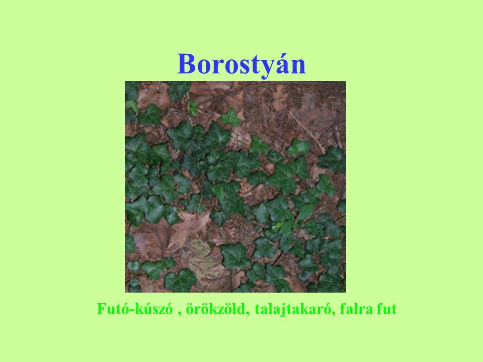 Borostyán Futó-kúszó , örökzöld, talajtakaró, falra fut