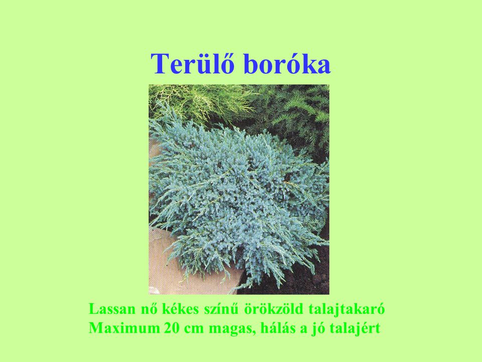 Terülő boróka Lassan nő kékes színű örökzöld talajtakaró