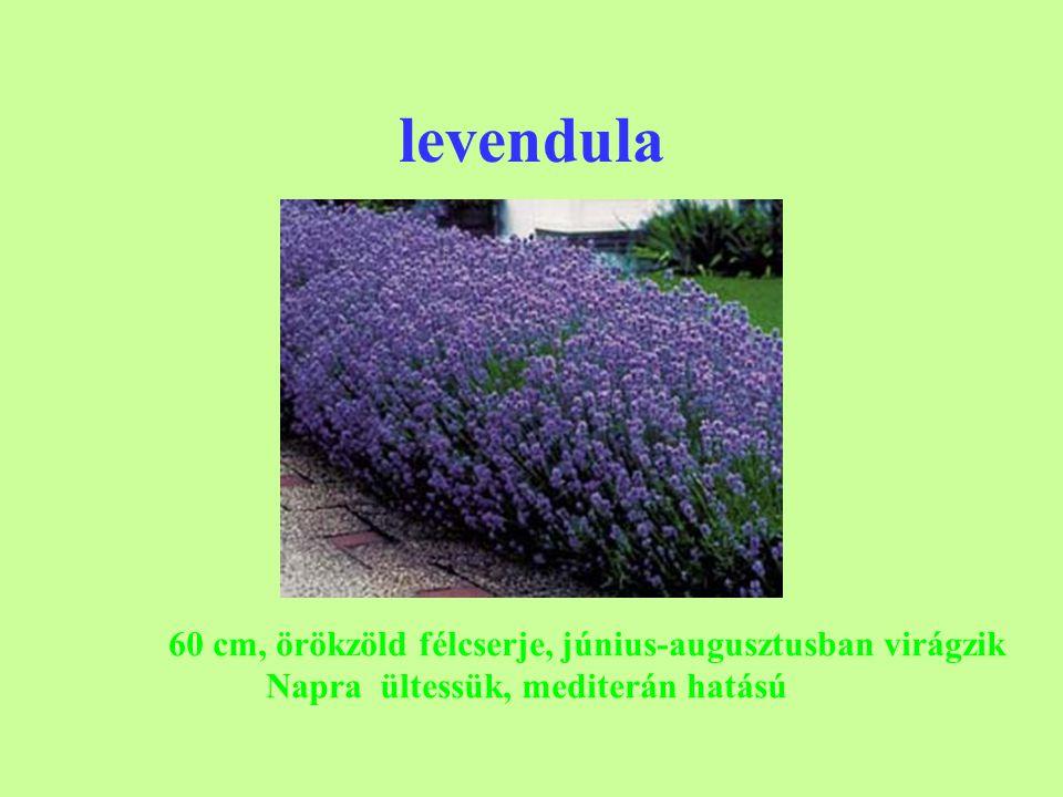 levendula 60 cm, örökzöld félcserje, június-augusztusban virágzik