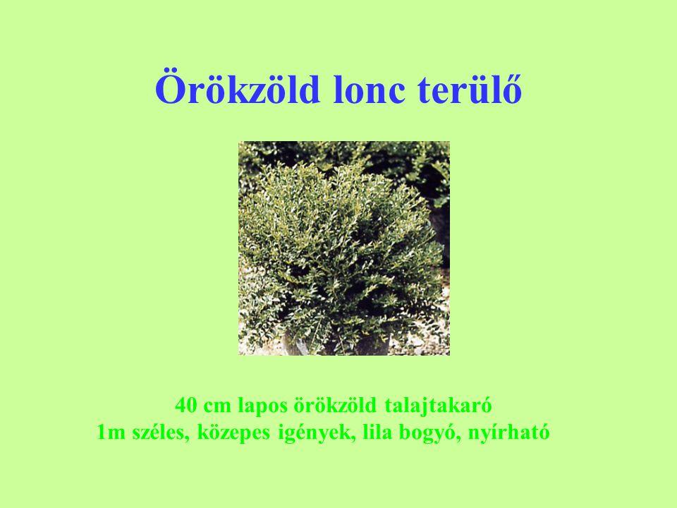 Örökzöld lonc terülő 40 cm lapos örökzöld talajtakaró