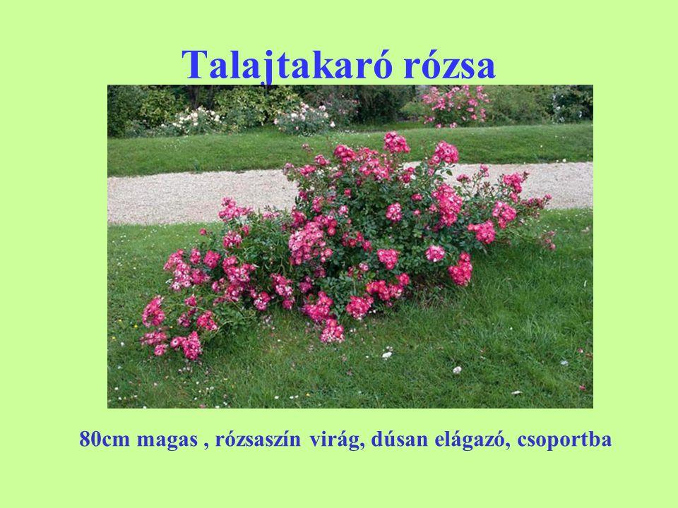 Talajtakaró rózsa 'The Fairy'