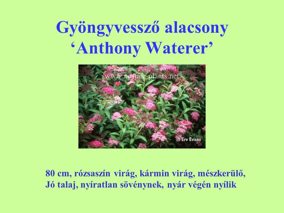 Gyöngyvessző alacsony 'Anthony Waterer'