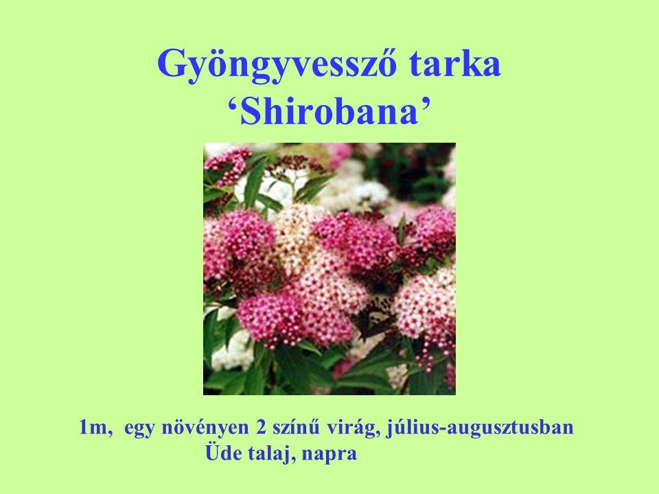 Gyöngyvessző tarka 'Shirobana'