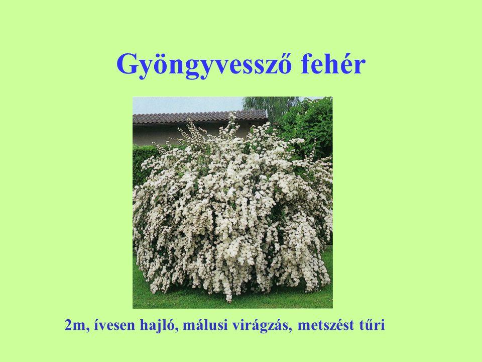 Gyöngyvessző fehér 2m, ívesen hajló, málusi virágzás, metszést tűri