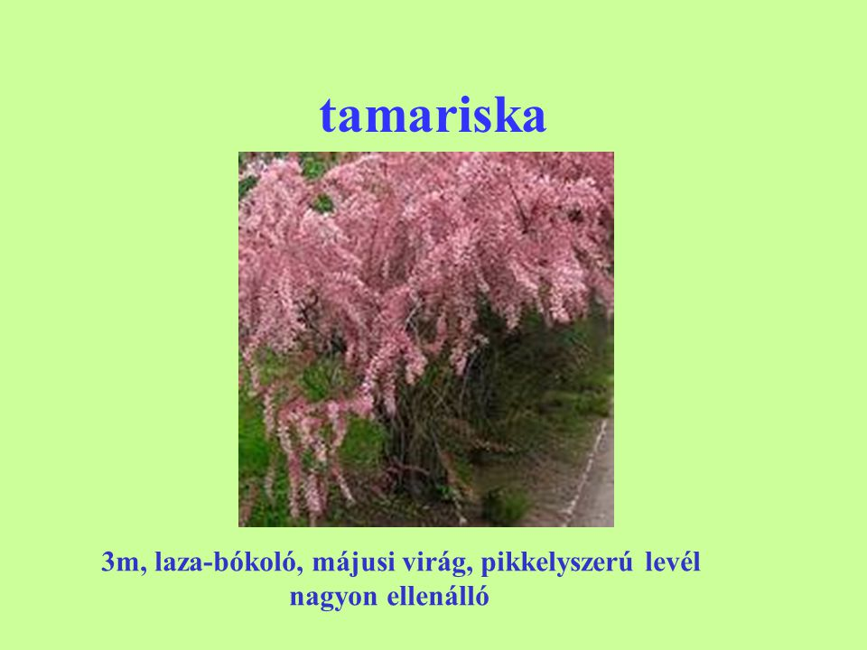 tamariska 3m, laza-bókoló, májusi virág, pikkelyszerú levél
