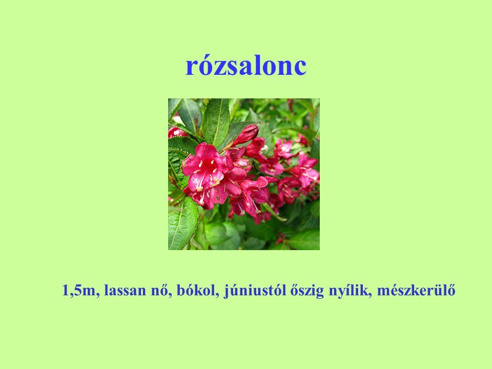 rózsalonc 1,5m, lassan nő, bókol, júniustól őszig nyílik, mészkerülő